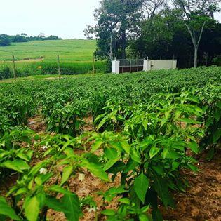 My chilli plantation